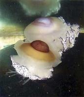 Medusa, Acquario Cattolica Le navi
